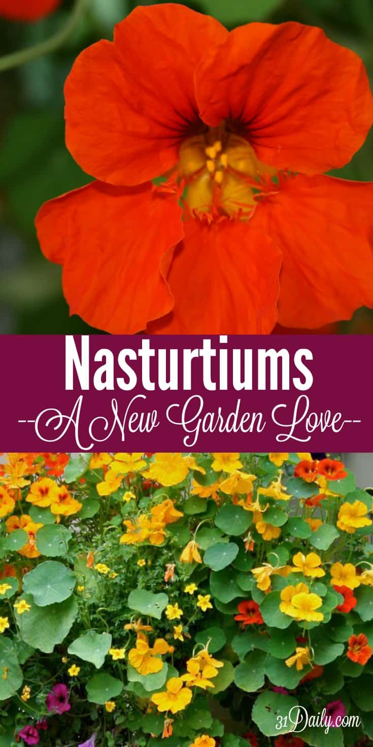 Nasturtiums: Vintage Yet Decidedly Modern. A New Garden Love | 31Daily.com