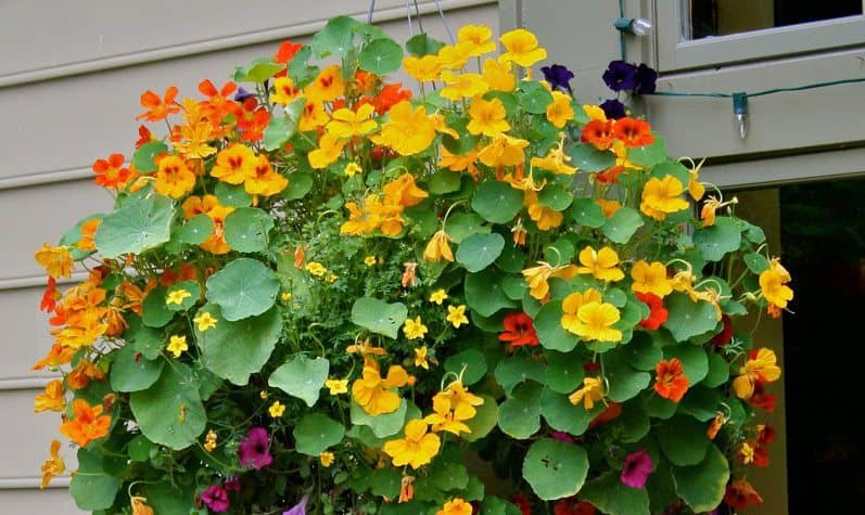 Nasturtiums: Vintage Yet Decidedly Modern | 31Daily.com