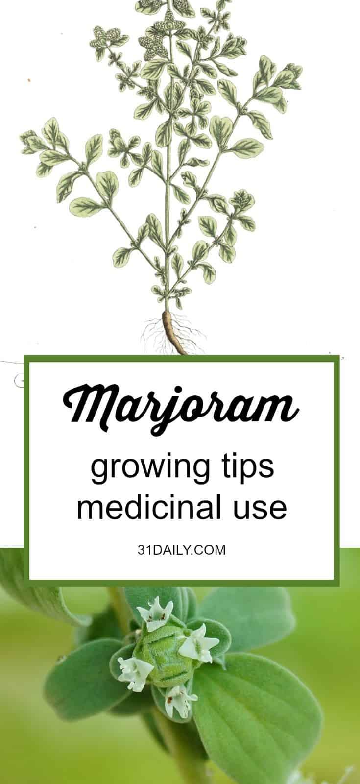 Medicinal Herb: Marjoram | 31Daily.com