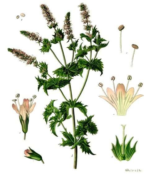 Medicinal Herb: Spearmint | 31Daily.com