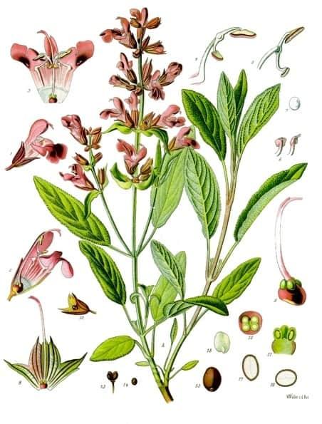 Medicinal Herb Sage   31Daily.com