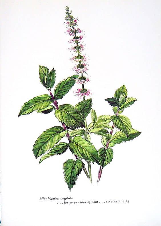 Medicinal Herbs: Peppermint | 31Daily.com