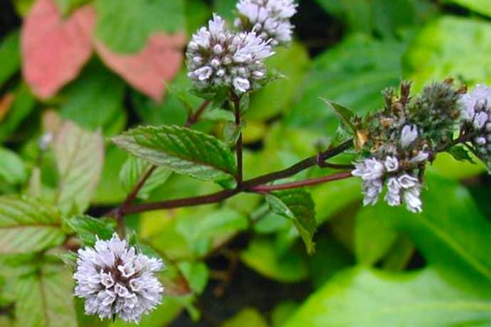 Medicinal Herbs: Peppermint
