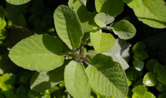 Medicinal Herb Sage | 31Daily.com