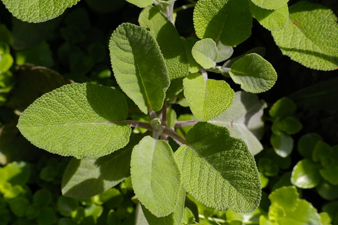 Medicinal Herb Series: Sage