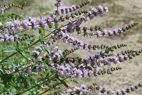 Medicinal Herbs: Spearmint