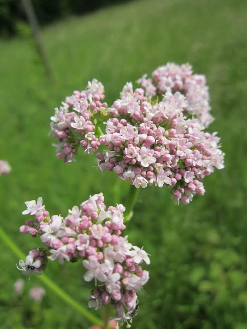Medicinal Herb: Valerian | 31Daily.com