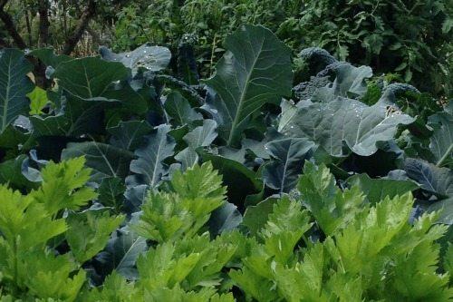 What's Growing in my Kitchen Garden