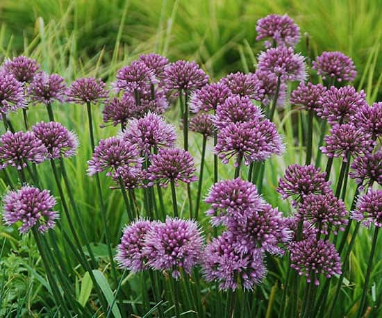 Allium 'Windy City'