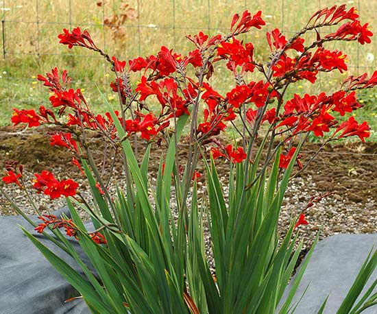 Crocosmia 'Dragonfire'