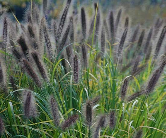 Pennisetum 'Ginger Love'