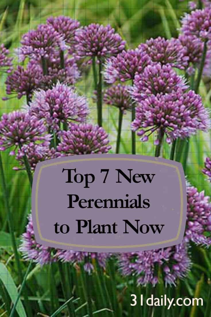Top 7 New Perennials to Plant Now: Allium Windy City