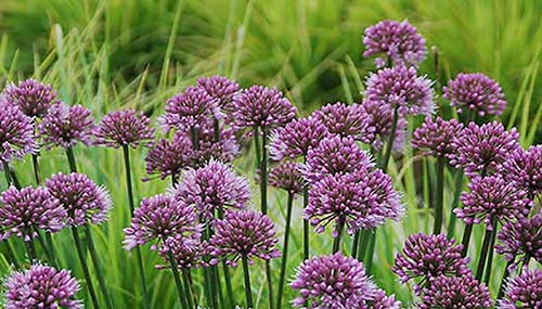 tb_Allium 'Windy City'
