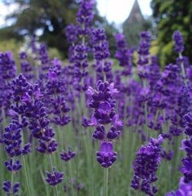 Lavender as Natural Mosquito Repellent at 31Daily.com