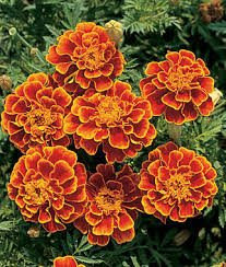 Marigold as Natural Mosquito Repellent at 31Daily.com