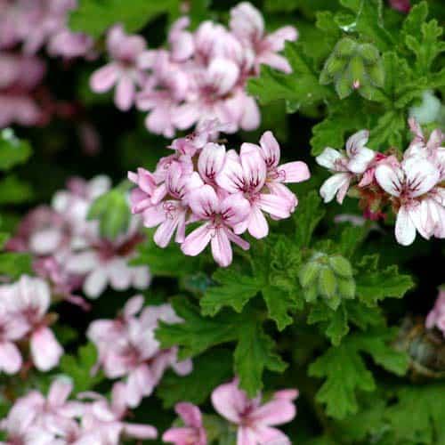 scented-geranium(1)