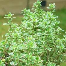 Lemon Thyme as Natural Mosquito Repellent at 31Daily.com