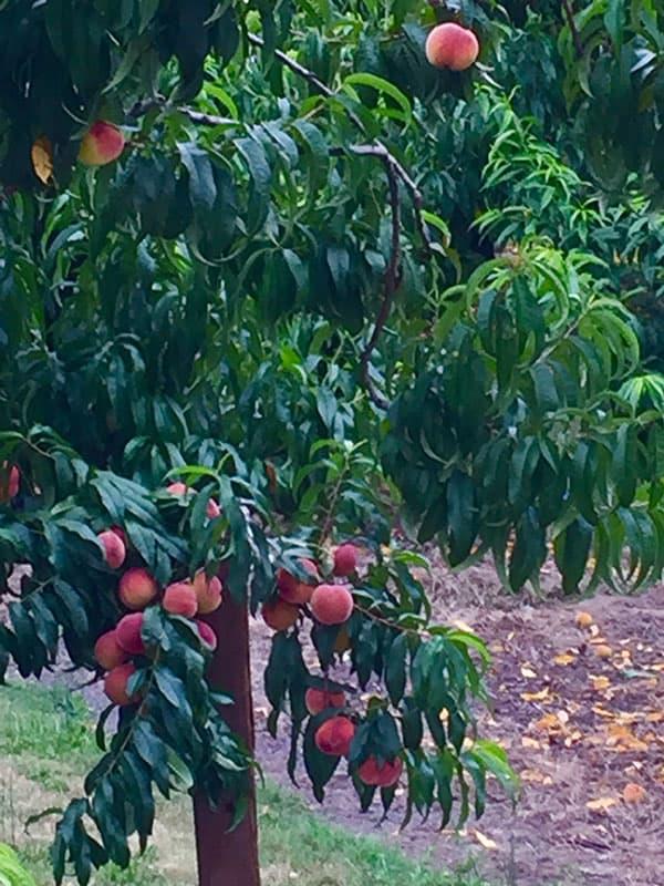 peach-tree-c