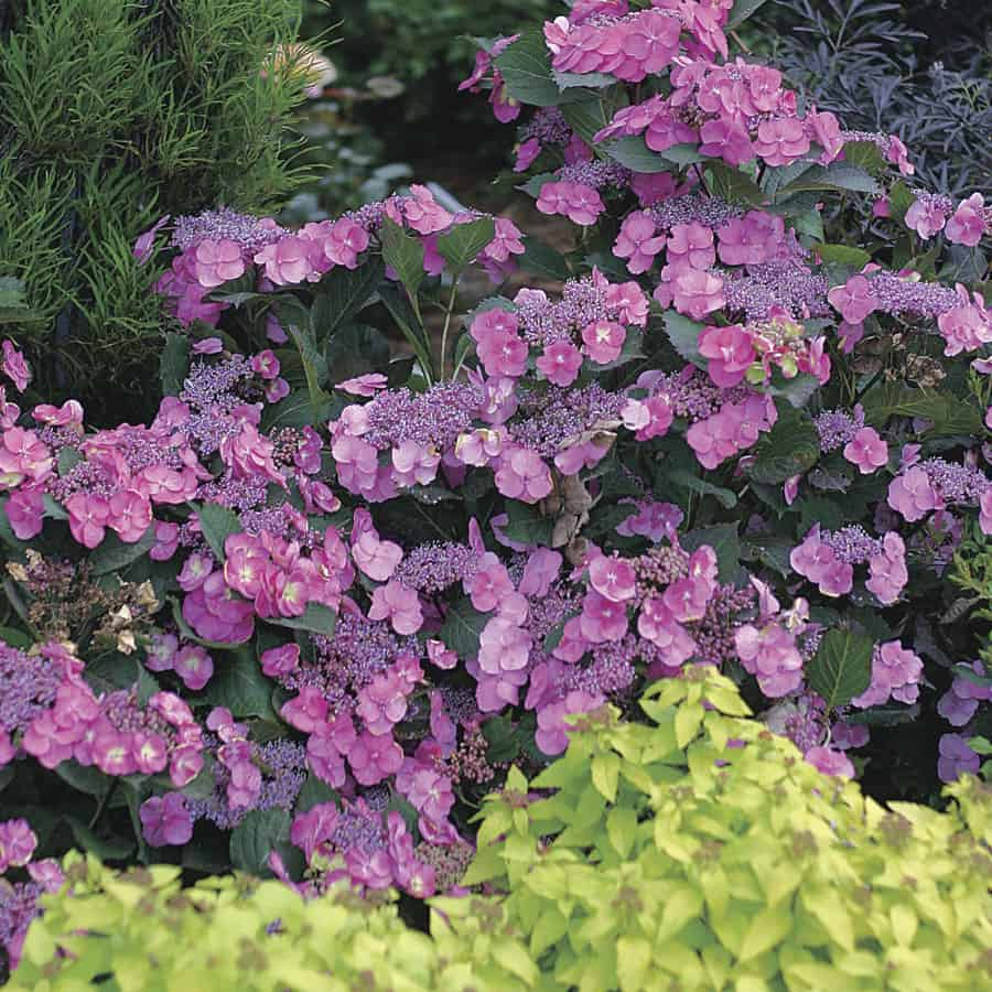 New 2016 Hydrangeas to Plant Now For Fall | 31Daily.com