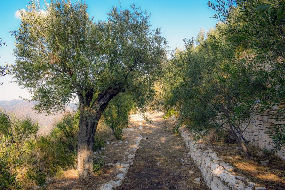 Italian Olive Grove