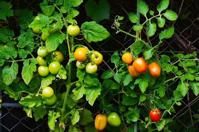 7 Must Grow Easy Plants for Every Kitchen Garden