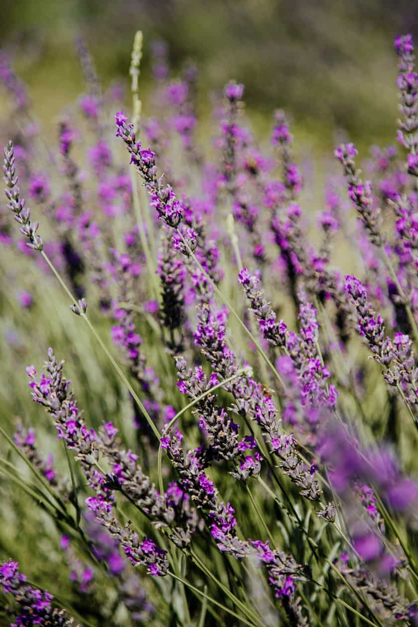 Garden Lavender for DIY Air Fresheners